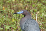 Little Blue Heron 03.patton.jpg