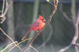 Northern Cardinal.01.patton.jpg