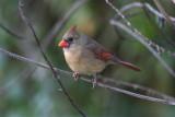 Northern Cardinal.02.patton.jpg