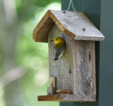 Prothonotary Warbler.01.patton.jpg