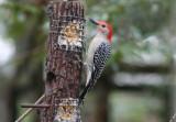 Red.bellied Woodpecker 01. patton.jpg