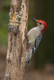 Red.bellied Woodpecker 02. patton.jpg