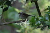 White.throated Sparrow 001.JPG