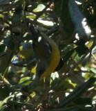 Tropical Parula, Lafayette Parish, 1/1/08