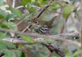 Ovenbird, Franklin Quad, 1/22/08