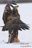 Pygargue immature ailes ouvertes #8587 -Vertical.jpg