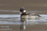 Petit garrot - Bufflehead - 3 photos
