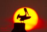 Pélican au coucher de soleil #2701.jpg