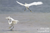 Aigrette neigeuse - Snowy Egret - 11 photos