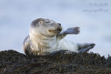 Phoque commun immature - Common Seal Pup - 20 photos