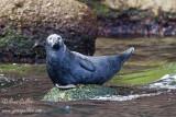 Phoque gris femelle #5729.jpg
