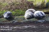 Phoques gris mâle et femelles #5692.jpg