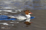 Grand Harle - Common Merganser - 2 photos