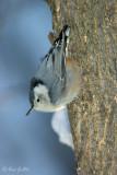 sittelle à poitrine blanche - White-breasted Nutchatch - 1 photo