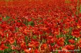 Red poppies - Papaveri rossi
