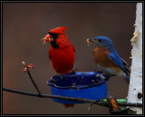 Northern cardinal, eastern bluebird