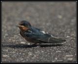 Barn swallow (fledgling)
