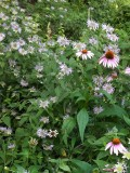 Wild bergamot, coneflower
