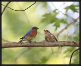 Bluebird fledgling with adult