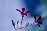 Tiny geraniums