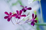 Aphids love geraniums