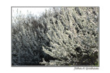 blackthorn in white