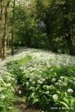 Wild garlic path