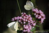 Green veined white male and female