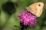 Meadow Brown ......