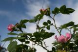 Dog rose in October