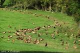 Pheasant revolt