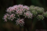 Queen Annes lace in November