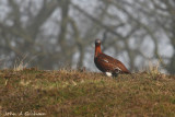 Red Grouse in the fog