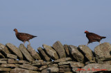 A Brace (pair, couple) of Grouse