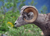 Bighorn Sheep at Grinnell Glacier, Study #3