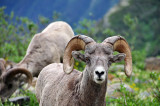 Bighorn Sheep at Grinnell Glacier, Study #4