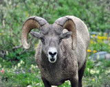 Bighorn Sheep at Grinnell Glacier, Study #5