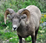 Bighorn Sheep at Grinnell Glacier, Study #6