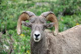Bighorn Sheep at Grinnell Glacier, Study #7