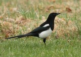 Black-billed Magpie 7734