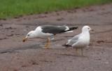Lesser Black-backed Gull 7912