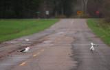 Lesser Black-backed Gull 7872