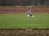 Lesser Black-backed Gull 7900