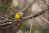 Western Tanager 8061