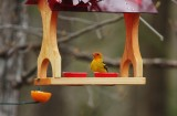 Western Tanager 8078
