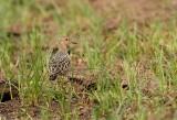 Buff-breasted Sandpiper 1268