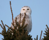 Snowy Owl 2058