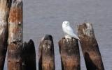 Snowy Owl 4138