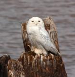 Snowy Owl - March 2012