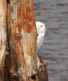Snowy Owl 4166